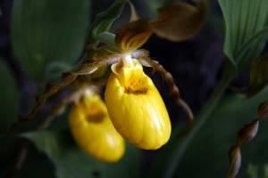 Large-Yellow-Lady's-Slipper, -C. parviflorum var.pubescens